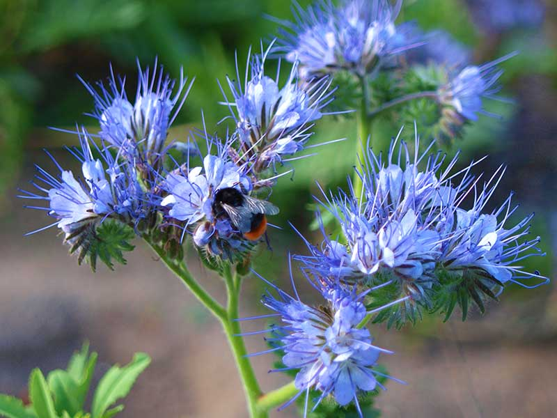 Honungsfacelia med bi