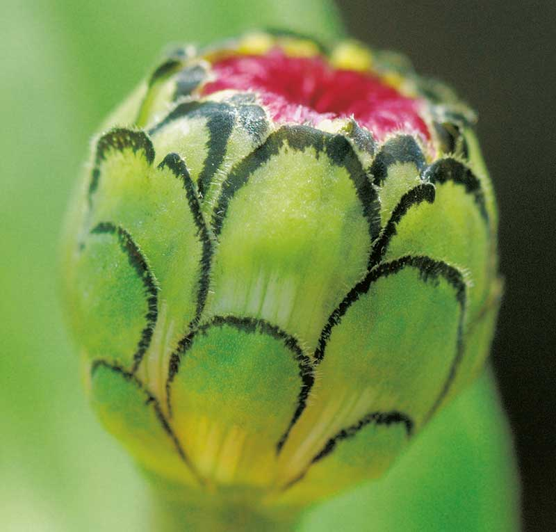 Blomknopp av zinnia
