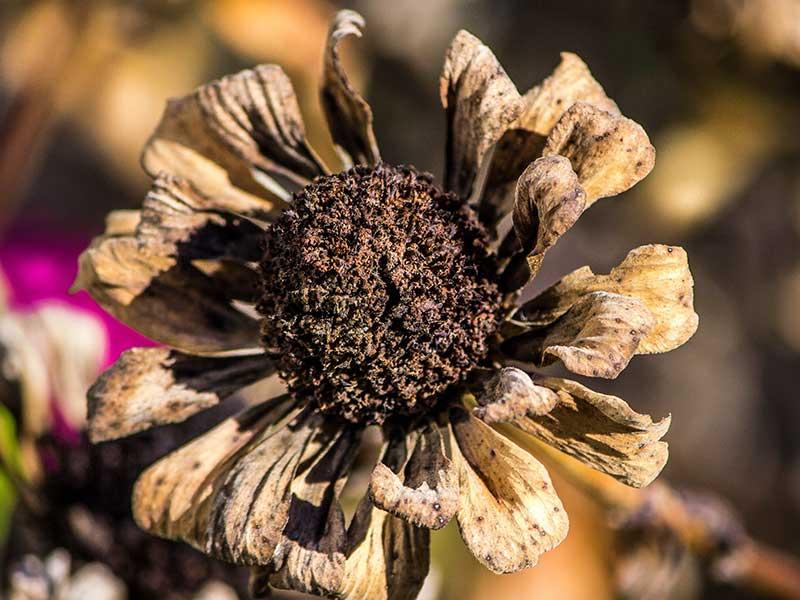 Zinnia med frön på hösten