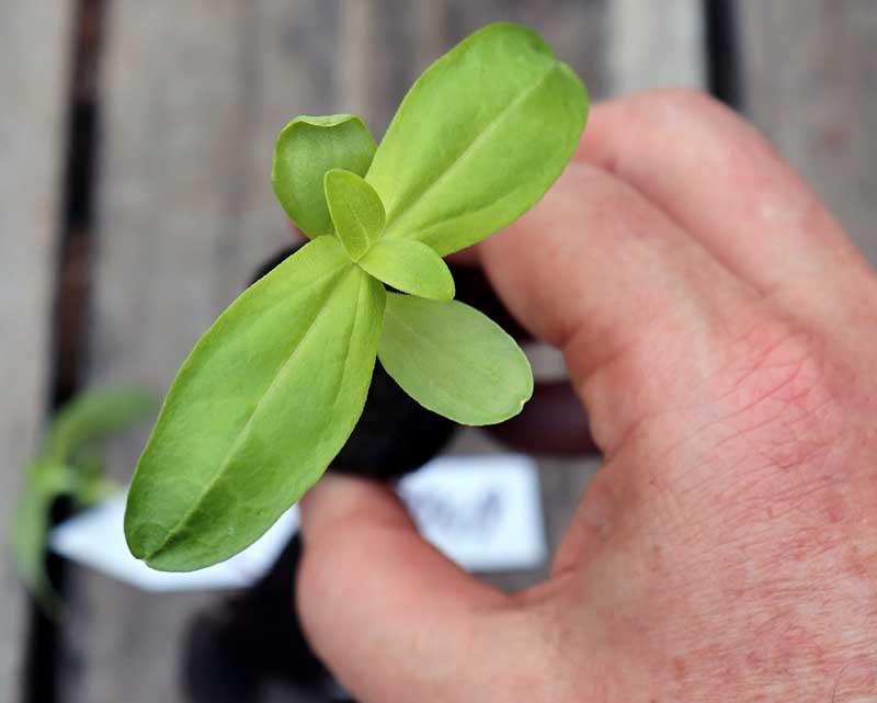 Fröplanta av zinnia