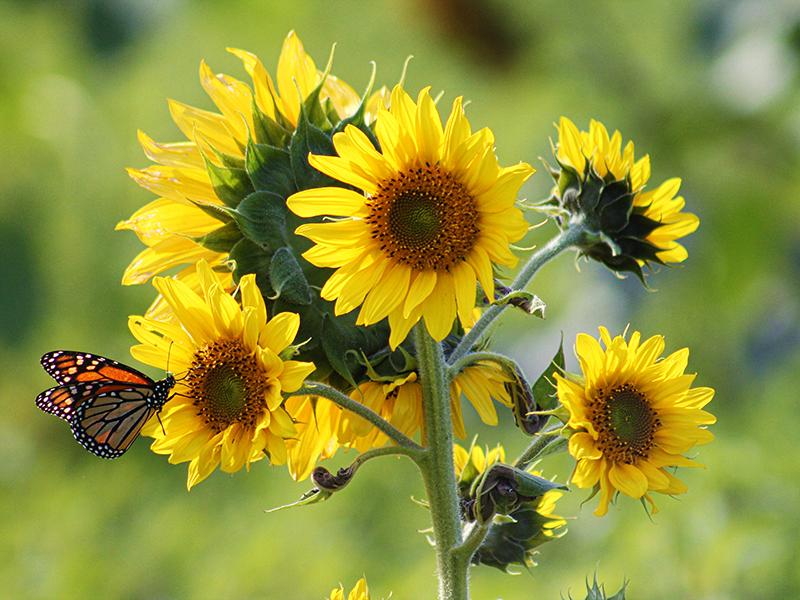 Fjäril pollinerar solros