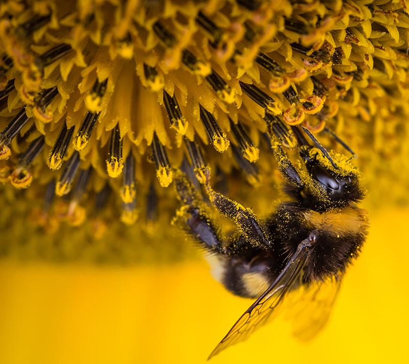 Pollinerande humla i solros