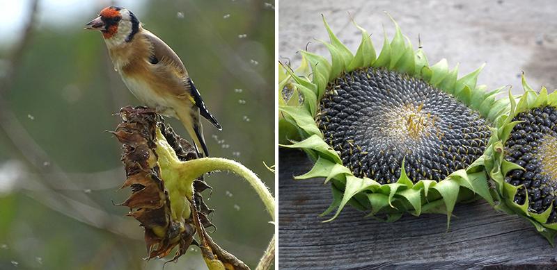 Solroskaka med frön till fågelmat