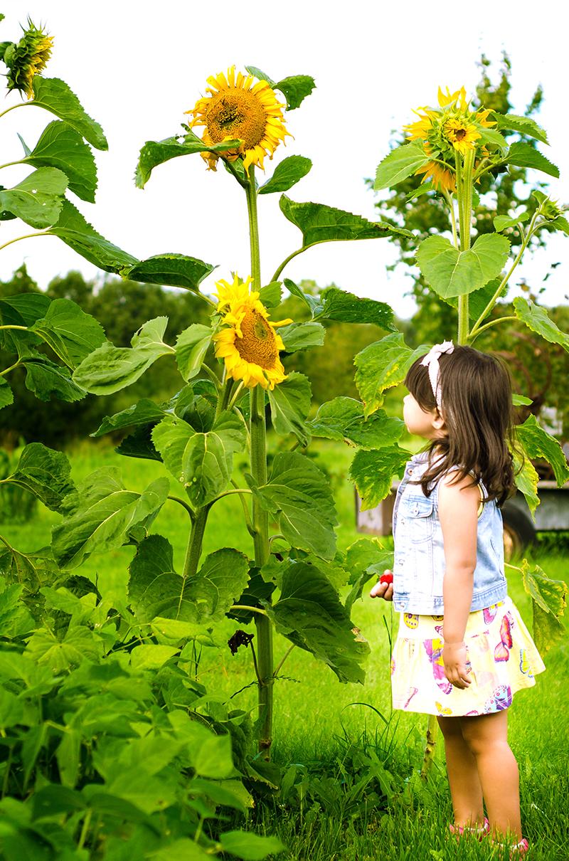Solros i odling med barn