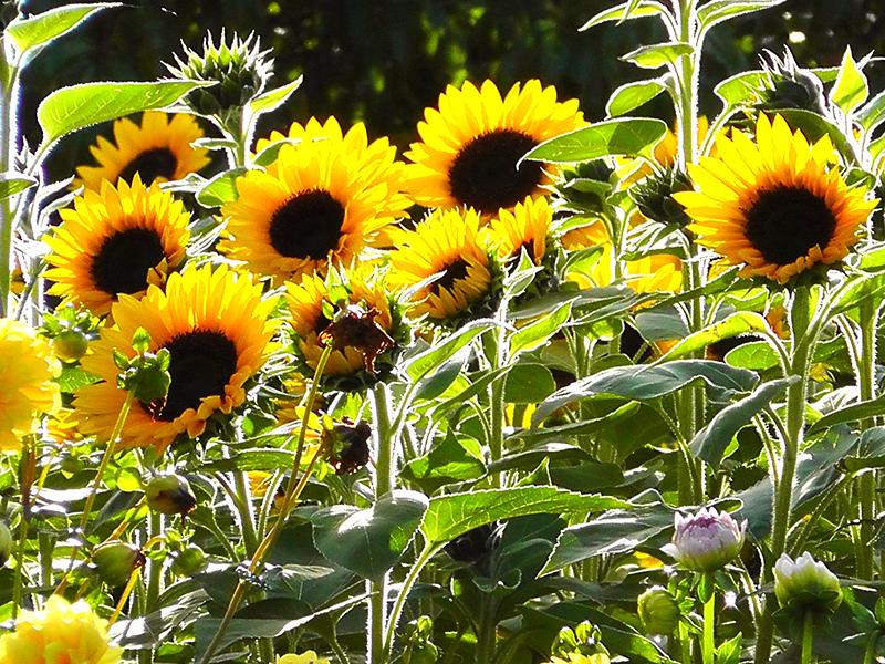Solrosplantering i trädgård