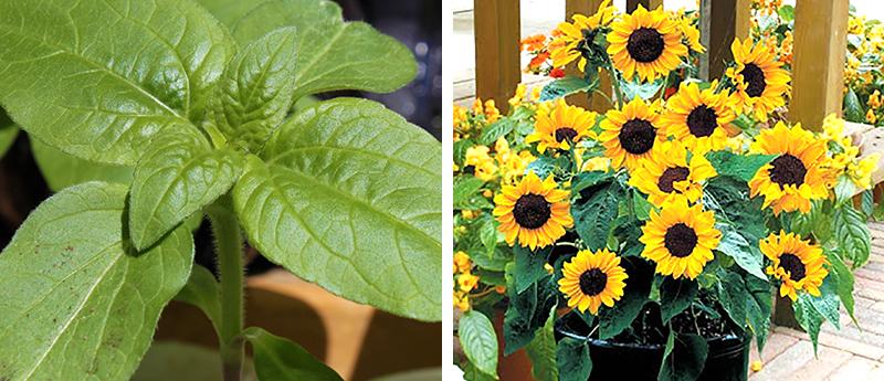 Toppad planta av flergrenad solros för kruka