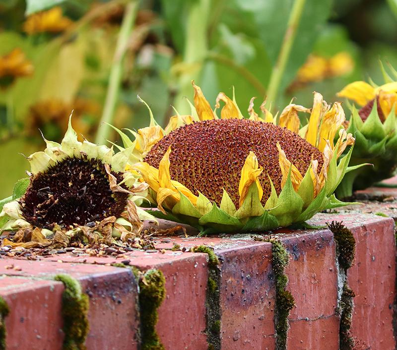 Torkning av solroskakor för skörd av frön