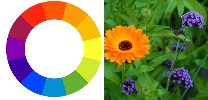 Fargcirkeln med komplementfärger för komposition av sommarblommor