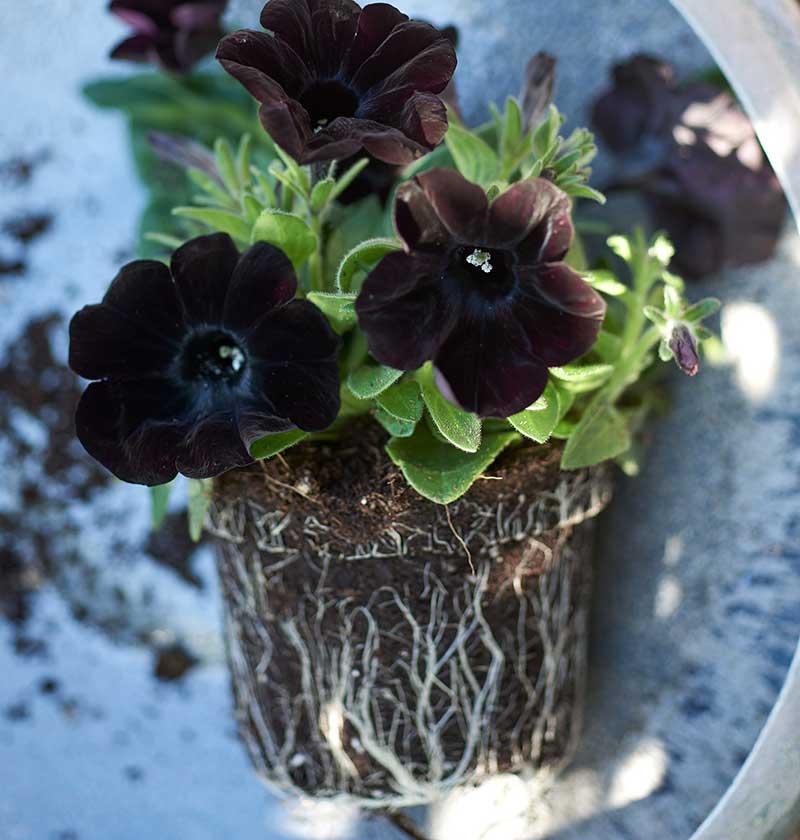 Mörk petunia sommarblomma plantering