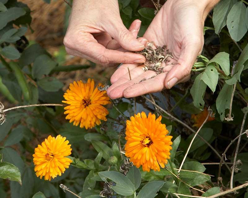 Mogna frön av ringblomma för självsådd