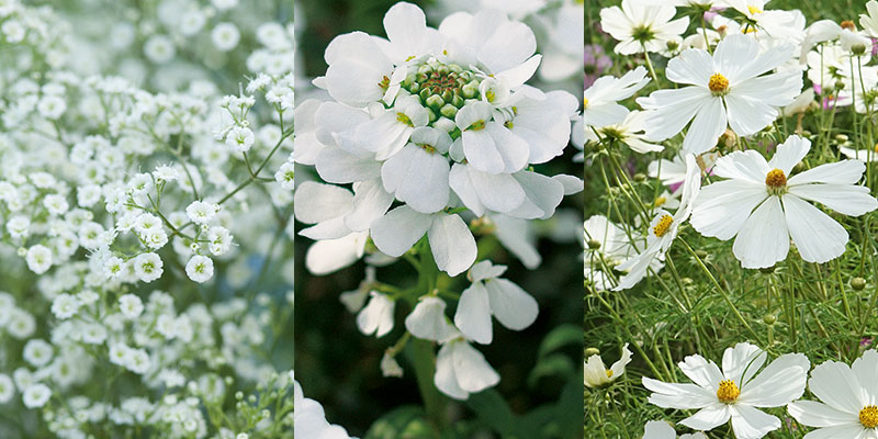 Sommarslöja, blomsteriberis och rosenskära
