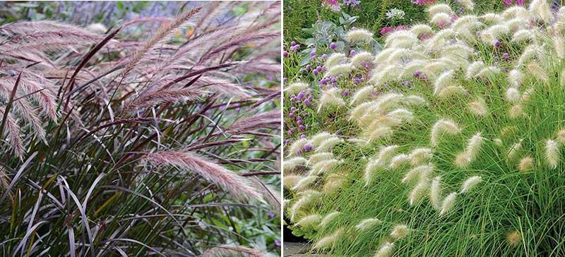 Fjäderborstgräs och dunborstgräs i odling till buketter