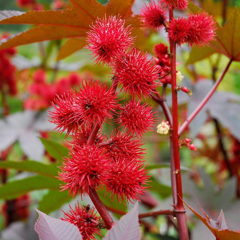 Blomma och frökapsel av ricin