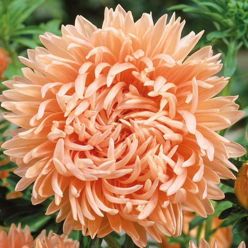 Sommaraster aprikosrosa
