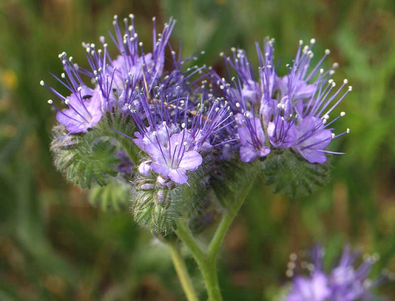 HOnungsfaecelia lilablå blomma