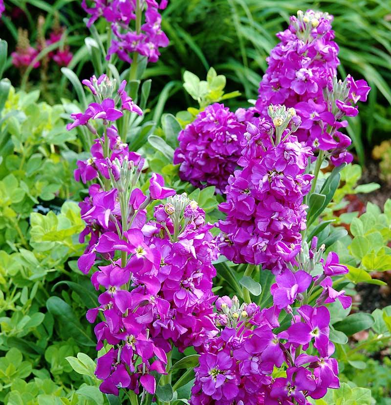 Sommarlövkoja lila till bukett