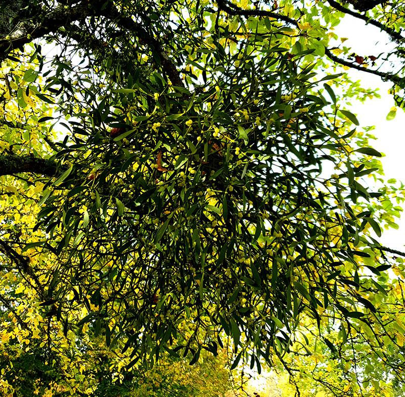 En klotformad mistel växer på ett träd