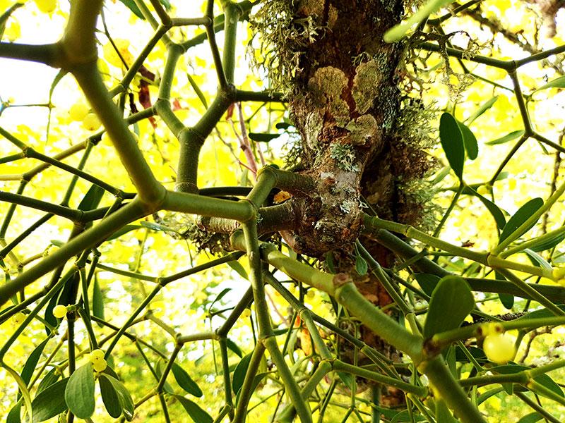 Misteln fäster i värdväxtens, trädets stam