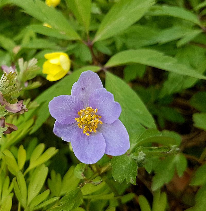 Blå vitsippa Anemone nemorosa 'Allenii'