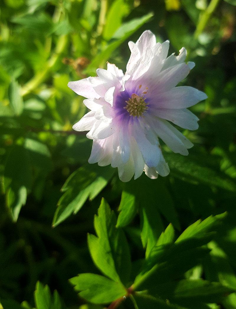 Dubbelblommande vitsippa Anemone nemorosa 'Blue Eyes'