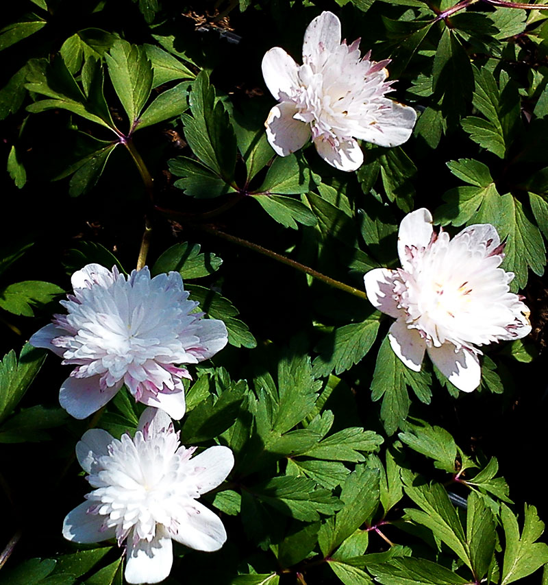 Dubbelblommande vitsippa Anemone nemorosa 'Salt and Pepper'