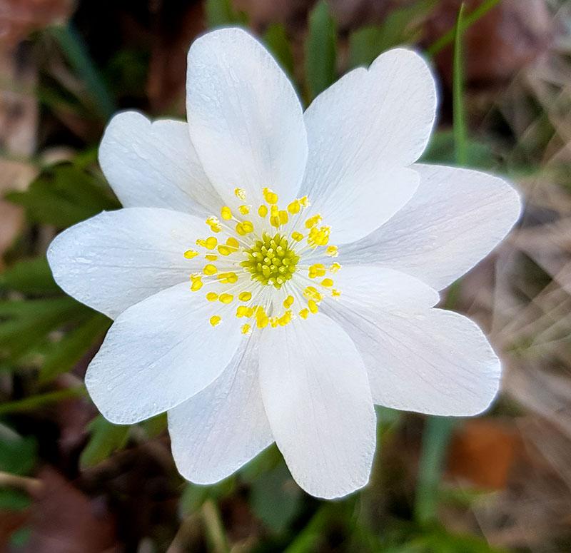 Vitsippa - blomma med ståndare och pistill