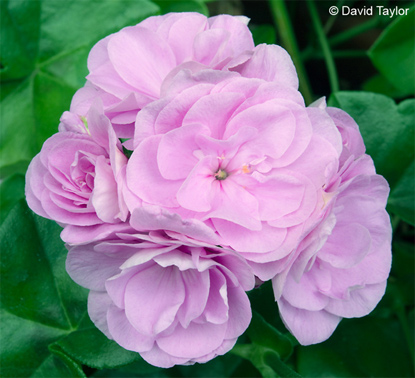 Pelfi Summer Lilac Rose