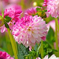 Rosa Dekorativdahlia 'Pink Isa'