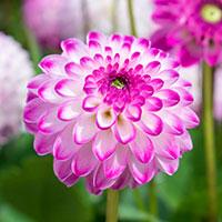 Knöl till Dekorativdahlia 'Pink Isa'