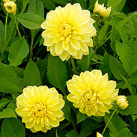 Dekorativdahlia 'Yellow Glory'