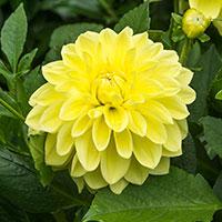 Knöl till Dekorativdahlia 'Yellow Glory'