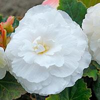 Fragrantbegonia 'Odorosa White'