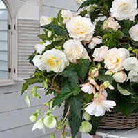Knöl till Fragrantbegonia 'Odorosa White'