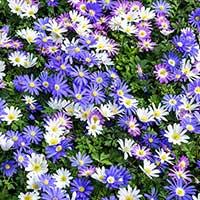 Balkansippa, mix - Blomsterlök för höstplantering
