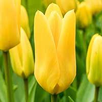 Kejsartulpan 'Candela' - Blomsterlök för höstplantering