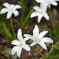 Vårstjärna, -stor 'Alba' - Blomsterlök för höstplantering