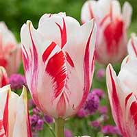 Tulpan 'Sorbet' - Blomsterlök för höstplantering