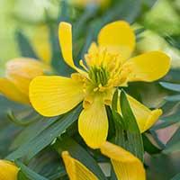 Blomsterlök för höstplantering - Vintergäck