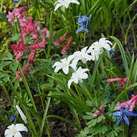 Stor vårstjärna 'Alba' med andra blå och röda blommor