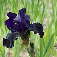 Trädgårdsiris 'Black'
