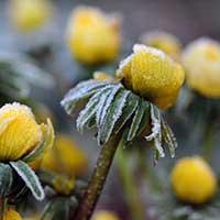 Vintergäck i frost