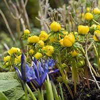 Vintergäck med iris