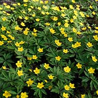 Vintergäck, gula blommor