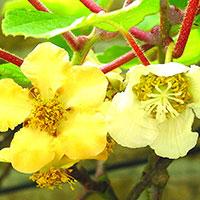 Blommande kiwi