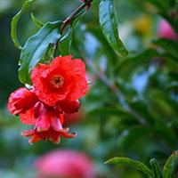 Blommor på granatäpple
