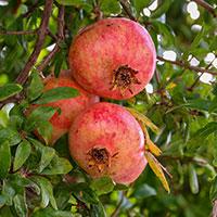 Frö till Granatäpple