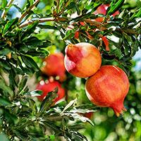 Granatäpplen på buske