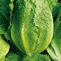 Frö till Bindsallat, Lactuca sativa 'Verde Degli Ortolani'