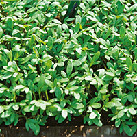 Frö till Bredbladig smörgåskrasse, Lepidium sativum