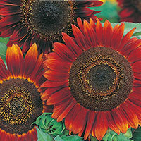 Frö till solros, Helianthus annuus 'Evening Sun'